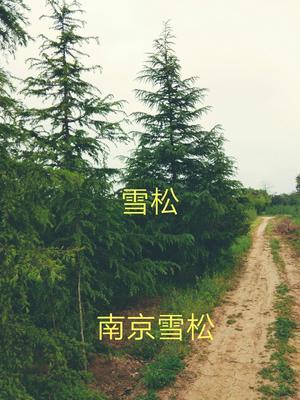 江苏省南京市浦口区南京雪松
