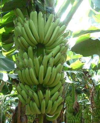云南省普洱市思茅区西双版纳香蕉 七成熟 70斤以上