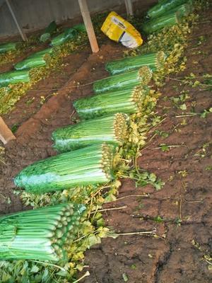 山东省济南市济阳县西芹 60cm以上 大棚种植 0.5~1.0斤