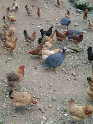 银斑珍珠鸡 6-8斤