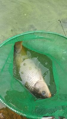 贵州省毕节市大方县池塘鲤鱼 人工养殖 1.5-3龙8国际官网官方网站