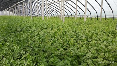河南省开封市兰考县西芹 55~60cm 大棚种植 1.0~1.5斤