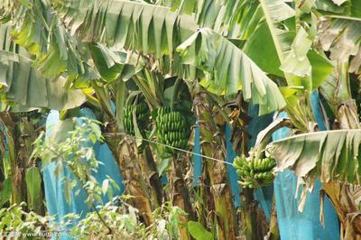云南省普洱市江城哈尼族彝族自治县巴西香蕉 七成熟 50 - 60斤