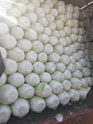 山东省临沂市兰陵县菊锦大白菜 6~10斤 净菜