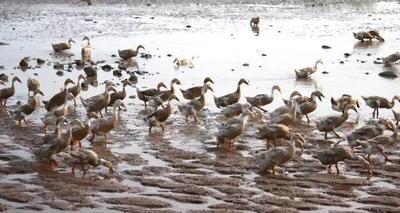广西壮族自治区北海市海城区海鸭蛋 食用 散装