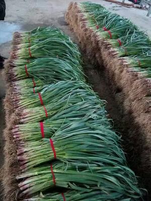山东省临沂市郯城县红根蒜苗 50 - 60cm
