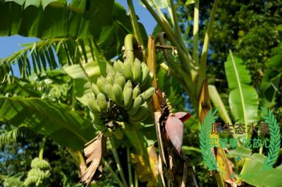 云南省西双版纳傣族自治州勐腊县西双版纳香蕉 七成熟 50.0斤