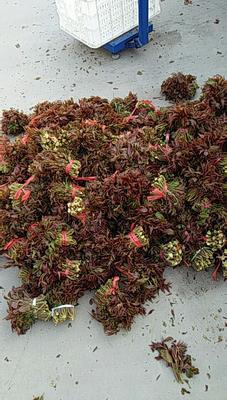 山东省潍坊市临朐县红油香椿芽 露天种植 散装 统货
