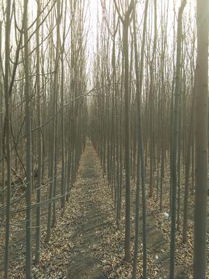 河北省沧州市任丘市速生白蜡 2.5~3米