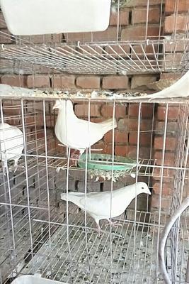 白羽王鸽 400-500克