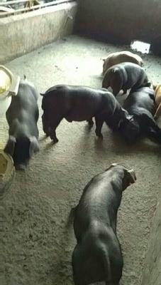 江苏省连云港市新浦区太湖母猪作种 80斤以上