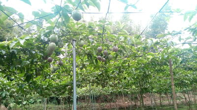 广西壮族自治区玉林市北流市紫香一号百香果 50 - 60克