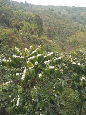 云南省普洱市墨江哈尼族自治县云南小粒咖啡豆