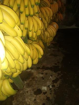云南省红河哈尼族彝族自治州蒙自市河口香蕉 九成熟 40 - 50斤