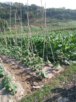 重庆巴南区玉田包尖白菜 1~2斤 净菜