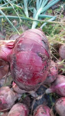 四川省凉山彝族自治州西昌市扁红洋葱 8cm以上 红皮 4两以上