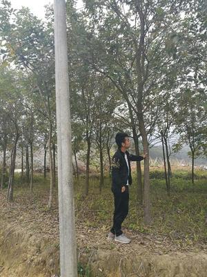 广东省清远市佛冈县黄花风铃木