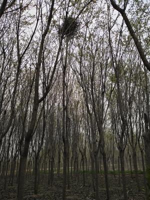 山东省青岛市黄岛区单樱 4~6公分 5米以上