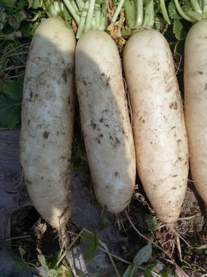 湖北省天门市天门市白萝卜 1.5~2斤