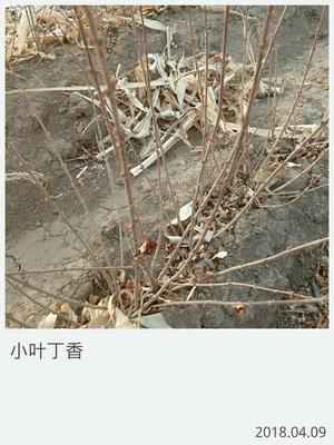 吉林省长春市榆树市小叶丁香 4cm以下 2cm以下 0.5~1米