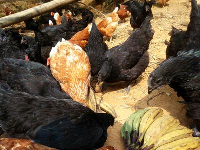 广西壮族自治区钦州市浦北县黑羽乌鸡 4-5斤