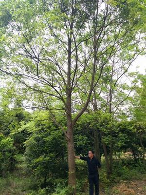 广西壮族自治区桂林市兴安县骨架香樟