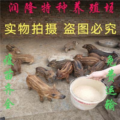 山东省济宁市嘉祥县特种野猪 30-40斤 统货