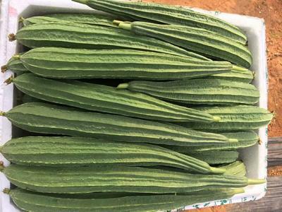 广西壮族自治区北海市银海区鲜花丝瓜 25cm以上