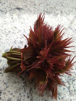 陕西省渭南市华阴市红油香椿芽 露天种植 散装 一级