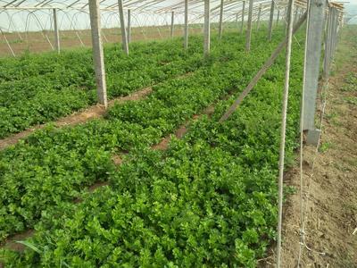 河南省商丘市虞城县皇冠西芹 45~50cm 大棚种植 1.0~1.5斤