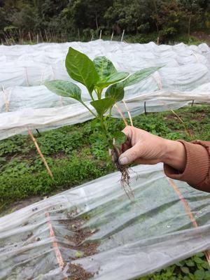 彩椒苗 五彩椒 七彩椒盆栽 大面积种植