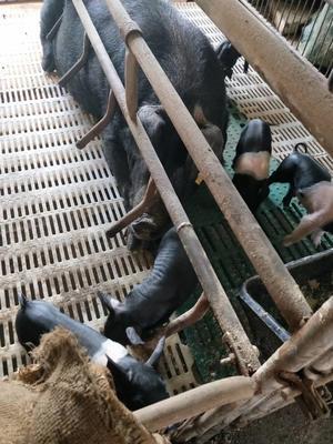 黑龙江省牡丹江市穆棱市黑山猪 200-300斤 统货