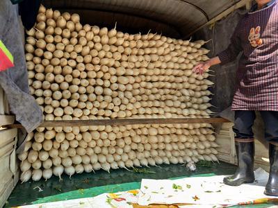 云南省昆明市石林彝族自治县白萝卜 1.5~2斤