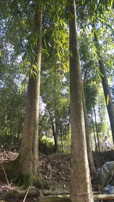 上海虹口区金丝楠木