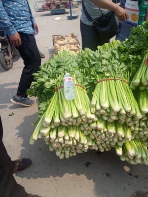 河南省开封市开封县西芹 50~55cm 大棚种植 0.5~1.0斤