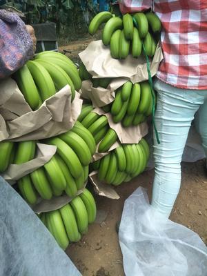 海南省东方市东方市海南蕉 七成熟 40 - 50斤