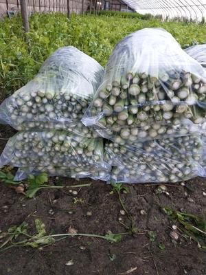 辽宁省盘锦市盘山县铁杆芹菜 60cm以上 大棚种植 0.5~1.0斤