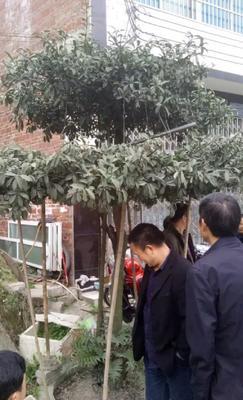 贵州省毕节市金沙县金弹子 6~8公分
