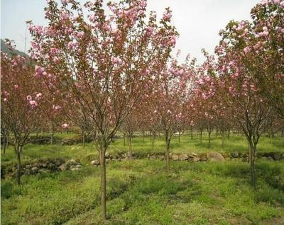 贵州省六盘水市水城县中国红樱 4~6公分 0.5~1米