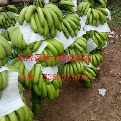 云南省普洱市江城哈尼族彝族自治县西双版纳香蕉 七成熟 40斤以下