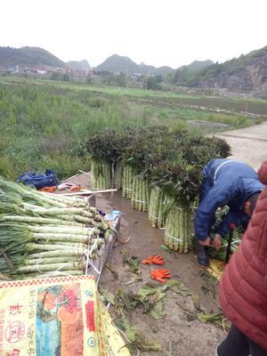 贵州省黔西南布依族苗族自治州兴义市红叶莴笋 40-50cm 1.5~2.0斤