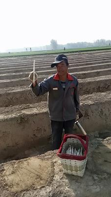 山东省菏泽市曹县白芦笋 20cm以上 10mm以上