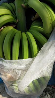 云南省红河哈尼族彝族自治州屏边苗族自治县威廉斯香蕉 七成熟 40斤以下
