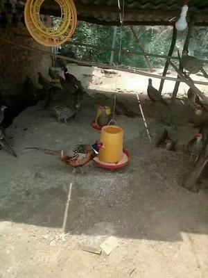 四川省巴中市巴州区野山鸡 2-3斤