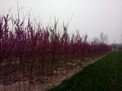 山东省菏泽市牡丹区北美海棠