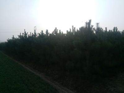 甘肃省庆阳市庆城县土地油松