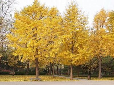 辽宁省丹东市凤城市银杏实生树