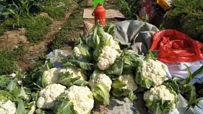 福建省泉州市惠安县白花菜花 适中 2~3斤 乳白色