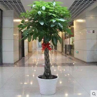 广西壮族自治区钦州市灵山县独杆发财树
