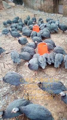 湖南省永州市道县银斑珍珠鸡 2-4斤